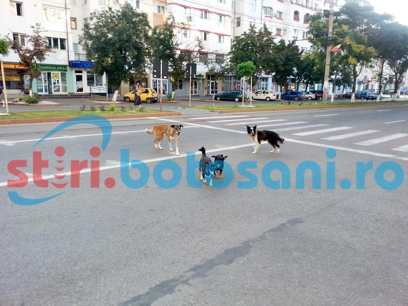 S-au înmulţit câinii pe străzile din Botoşani. Fetiţă atacată în centrul oraşului!