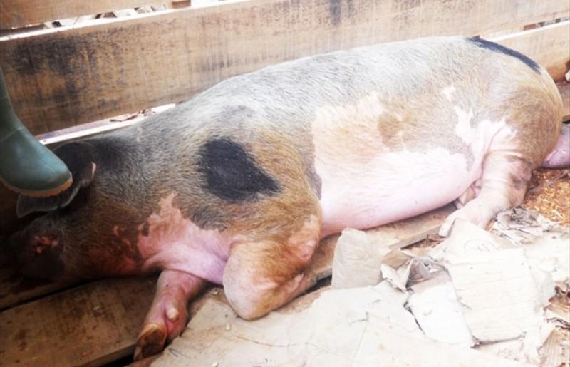 Şapte săptămâni de la apariţia primului caz de pestă porcină africană la Botoşani
