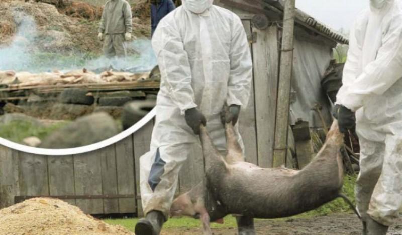 Ședință de urgență din cauza pestei porcine. Daea: Nu are nici antidot, nici vaccin. Nu vede nimeni cum circulă!