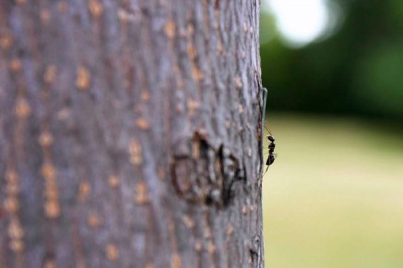 Sfatul specialistului: Ce pericole ascunde prezența furnicilor pe trunchiul pomilor fructiferi?