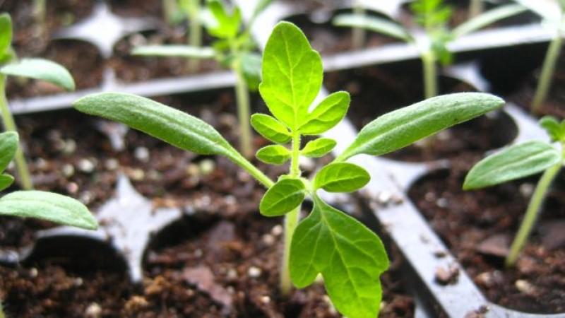 Sfaturi de la specialiști pentru obținerea răsadurilor de legume!