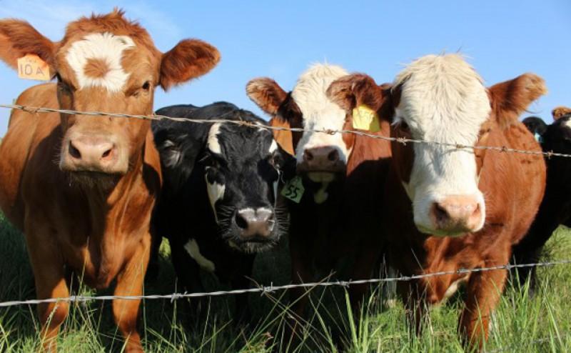 Subvenția APIA la bovine crește de la 340 la 379 de euro pentru fiecare vacă de lapte