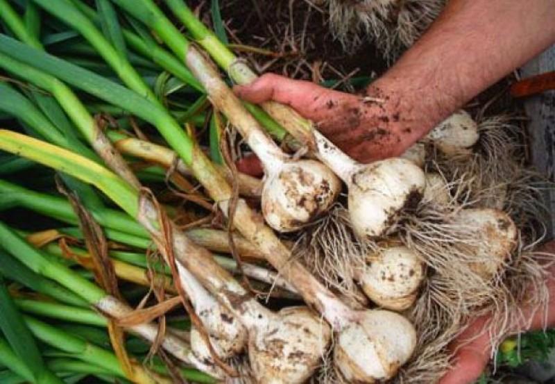 Subvenţii pentru legumicultorii botoşăneni prin două programe de finanţare