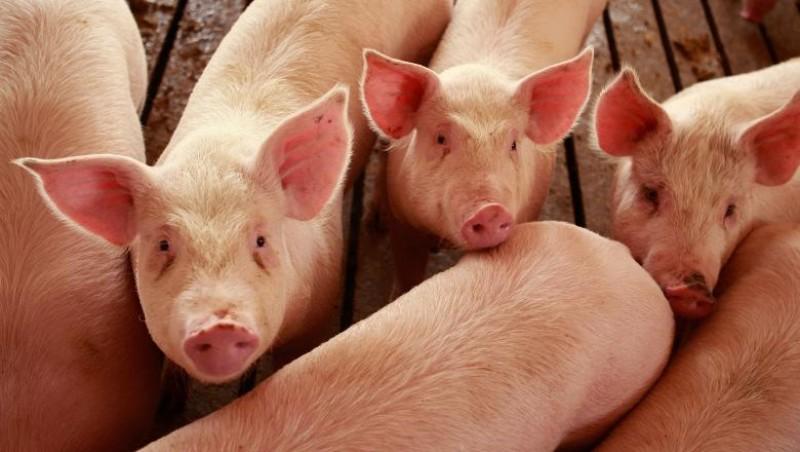 Suspiciune de reapariție a pestei porcine africane, în comuna Hănești