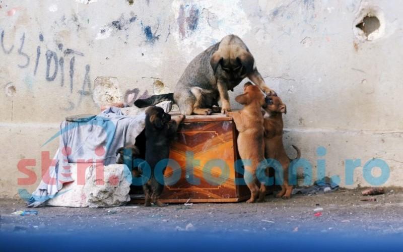 Sute de botoşăneni, victime ale câinilor!