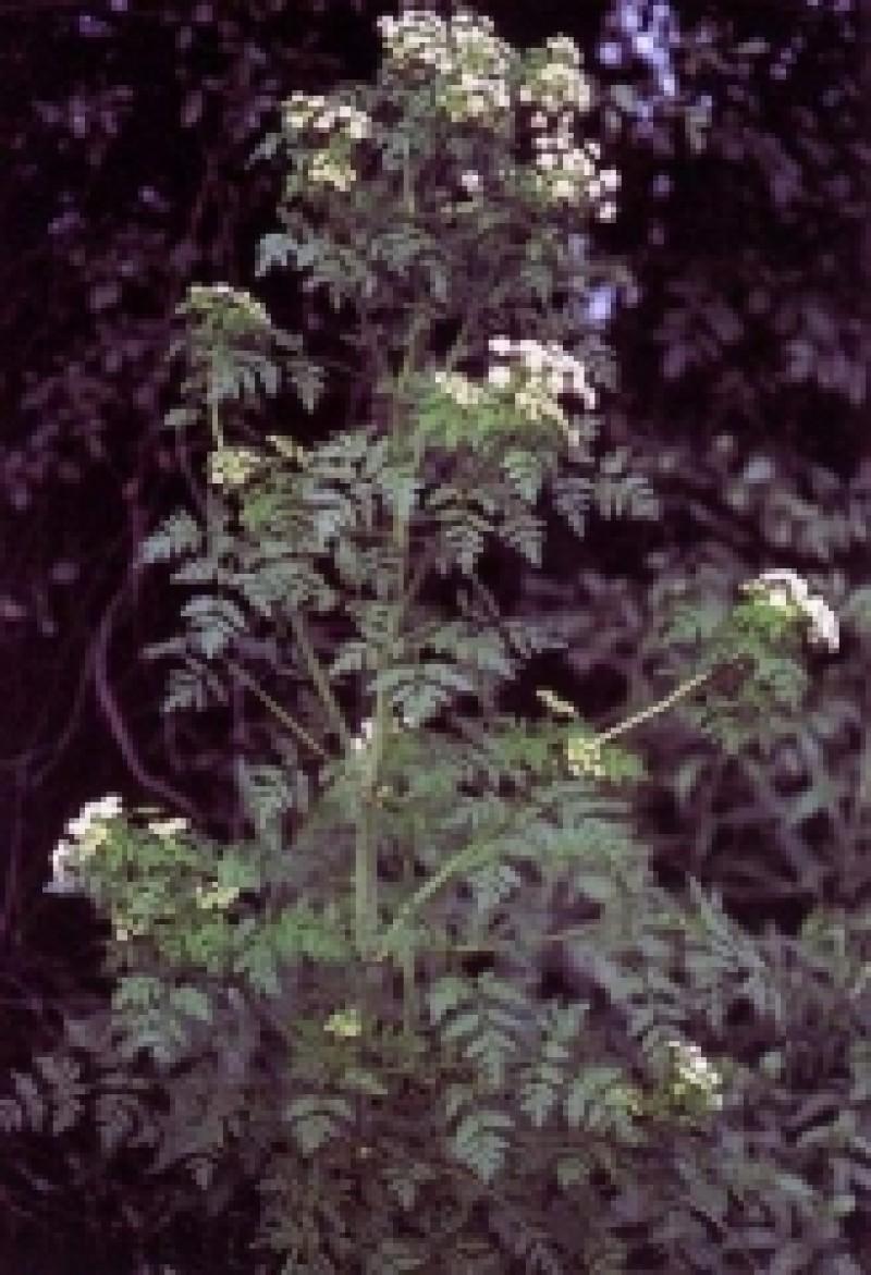 Top 5 cele mai otravitoare plante