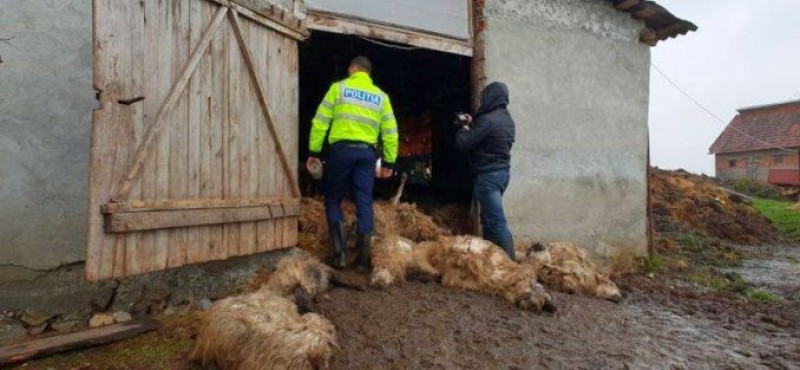"""Tragedia din saivan - Verdictul autorităților: """"Multe dintre oi au murit sufocate!"""""""