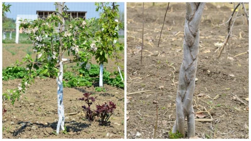 Tripom – pomul de la care obții trei soiuri diferite de fructe!