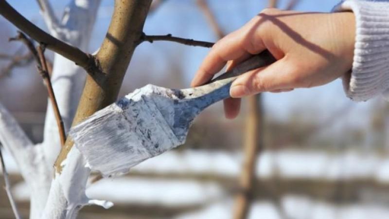 Tu știi cum se face CORECT văruirea pomilor primăvara?