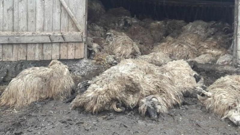 Un nou măcel la stână: 204 oi și miei sfâșiați de lupi! VIDEO
