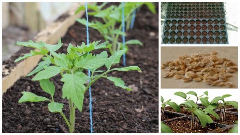 UTIL: Cum obțineți răsadurile - pașii de urmat de la semănat la plantare!