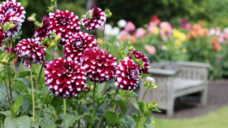 UTIL pentru grădina ta: Flori care se plantează în luna mai