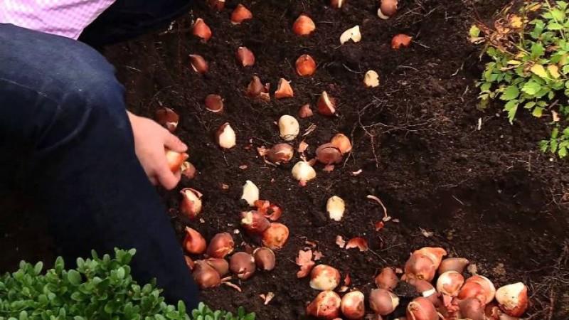 UTIL: Zece bulbi de flori care se sădesc toamna!