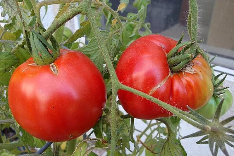 UTILE, de sezon; 10 sfaturi pentru o recoltă bogată de roșii