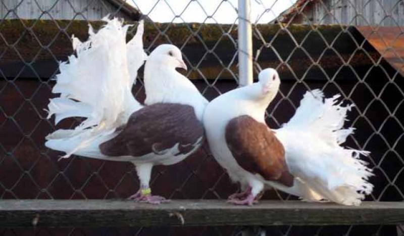 """Vă plac porumbeii? Cele mai frumoase exemplare vor putea fi văzute la expoziția anuală """"Columbofilia – tradiție și pasiune"""" de la Dorohoi"""