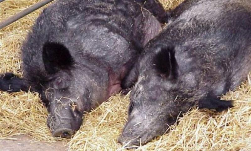 Virusul pestei porcine africane, confirmat la încă cinci cadavre de porci mistreți. Măsuri noi la Frontieră!