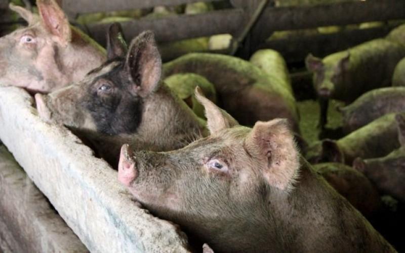 Virusul Pestei Porcine Africane, confirmat pentru prima dată într-o exploataţie comercială din Tulcea