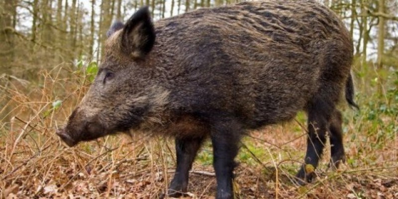 Virusul Pestei Porcine Africane, depistat la un porc mistreț găsit mort pe un fond de vânătoare din județul Botoșani!