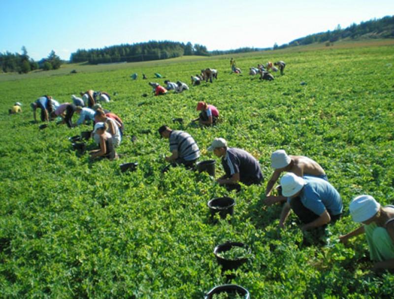 Vrei să lucrezi în Danemarca sau Portugalia? VEZI ce posturi în agricultură anunță angajatorii!