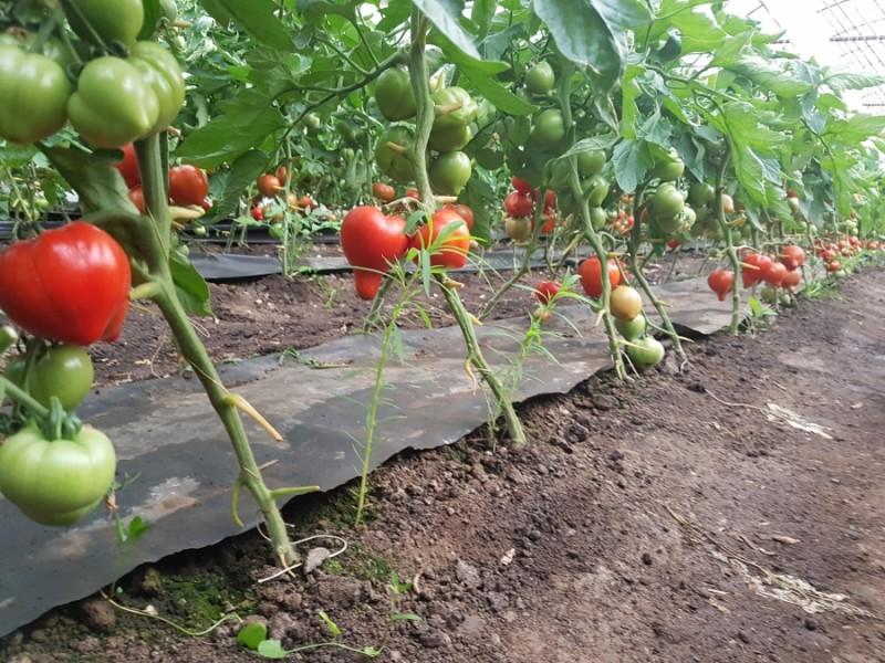 Zeci de botoșăneni au primit 3000 euro pentru cultura de tomate!